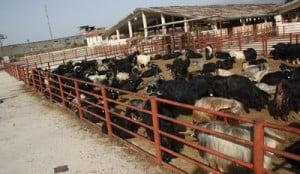 Arsuz ve İskenderun'da Kurban Kesim ve Satış Yerleri Açıklandı