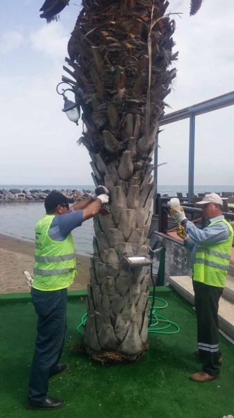 Akdeniz'in Simgesi Palmiyeler Koruma Altında